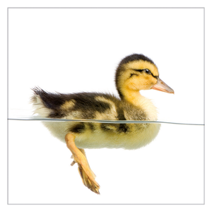 Glasbild Little Duck I - Glas - Gelb,
